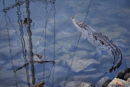 Crocodile in a Pacific Ocean marina in Marina Vallarta, Puerto Vallarta, México. Stock Photo