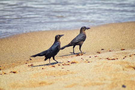 Great-tailed Grackle birds eating Winged Male Drone Leafcutter ants, dying on beach after mating flight with queen in Puerto Vallarta Mexico. Scientific name Atta mexicana, subfamily Myrmicinae of the genus Atta.