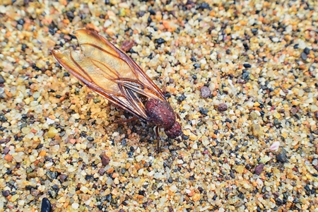 Winged Male Drone Leafcutter ants, macro close up view, dying on beach after mating flight with queen in Puerto Vallarta Mexico. Scientific name Atta mexicana, a species of leaf-cutter ant, a New World ant of the subfamily Myrmicinae of the genus Atta. 版權商用圖片