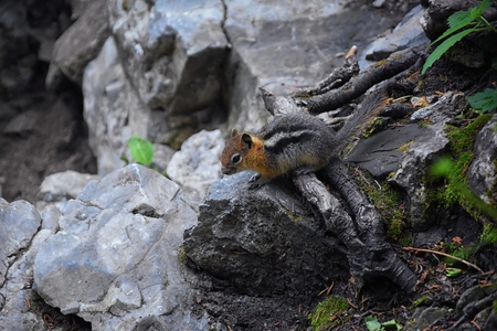 Western Chipmunk, (related Tamias, Striatus, Sibiricus) small striped rodent of the family Sciuridae, found in North America. This one as seen on a hike to Doughnut Falls in Big Cottonwood Canyon, in the Wasatch front Rocky Mountains, Utah, Western USA.