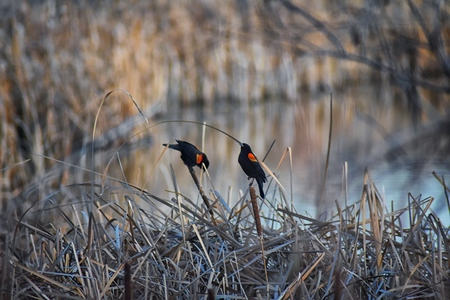 Red winged blackbird (Agelaius phoeniceus) close up in the wild in Colorado is a passerine bird of the family Icteridae found in most of North America and much of Central America. At Joshs Pond, Broomfield, Colorado. United States.