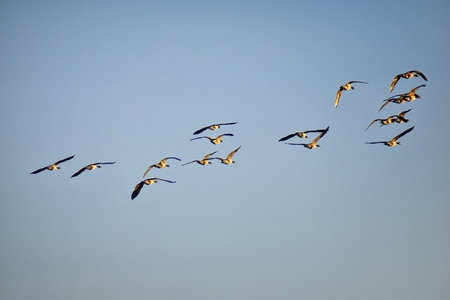 Flock of Canada geese (Branta canadensis) in flight against blue sky, a large wild goose species with a black head and neck, white cheeks, white under its chin, and a brown body, in Winter over Denver Colorado, United States.