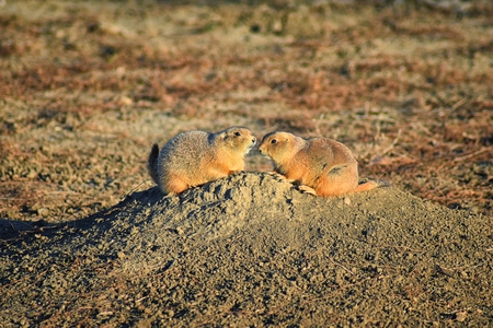 Prairie Dog (genus Cynomys ludovicianus) Black-Tailed in the wild, herbivorous burrowing rodent, in the shortgrass prairie ecosystem, alert in burrow, barking to warn other prairie dogs of danger in Broomfield Colorado by Denver and Boulder. United States. Foto de archivo - 115498014