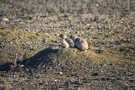 Prairie Dog (genus Cynomys ludovicianus) Black-Tailed in the wild, herbivorous burrowing rodent, in the shortgrass prairie ecosystem, alert in burrow, barking to warn other prairie dogs of danger in Broomfield Colorado by Denver and Boulder. United States.