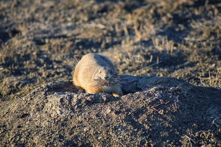 Prairie Dog (genus Cynomys ludovicianus) Black-Tailed in the wild, herbivorous burrowing rodent, in the shortgrass prairie ecosystem, alert in burrow, barking to warn other prairie dogs of danger in Broomfield Colorado by Denver and Boulder. United States. Foto de archivo - 115497962