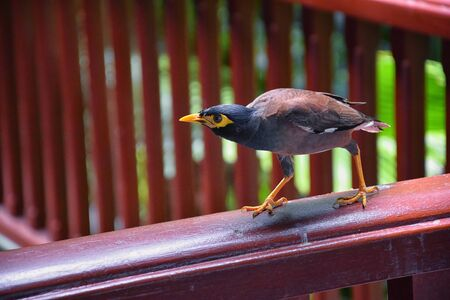 Myna Bird with a yellow beak,  Black-brown in Phuket Thailand near Bangkok. Common Myna, Indian Myna, Locust Starling, starling family. Asia.