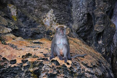 Macaque long tailed monkey, playing along the ocean cliffs around islands close to Phuket and Bangkok. Constitute a genus of Macaca of gregarious Old World monkeys, subfamily Cercopithecinae, in Thailand. Asia.