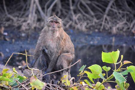 Macaque long tailed monkey, close-up portrait sitting in Phuket town along the river. Of the genus Macaca, constitute a genus of gregarious Old World monkeys, subfamily Cercopithecinae, in Thailand. Asia. 版權商用圖片