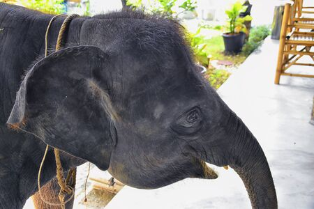 Baby elephant, Elephas maximus, rescued, healing to be reintroduced into the wild, close up view in protected park, Herbivorous animal in Phuket, Thailand. Asia.