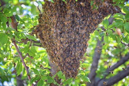 Swarm of Honey Bees, a eusocial flying insect within the genus Apis mellifera of the bee clade. Swarming Carniolan Italian honeybee on a plum tree branch in early spring in Utah. Formation of a new colony family. Salt Lake, Rocky Mountains. USA.