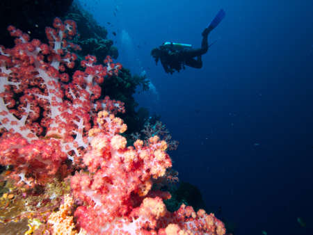 Divers hanging in front of a stunning soft coral garden on the wall at Siladen Island photo