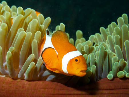 Macro portrait of a False Clown Fish on margin of its host Anemone photo