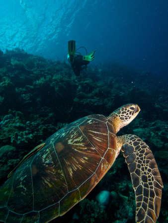 tortue verte: Vert Diver tortue profiter de l'�le de Siladen