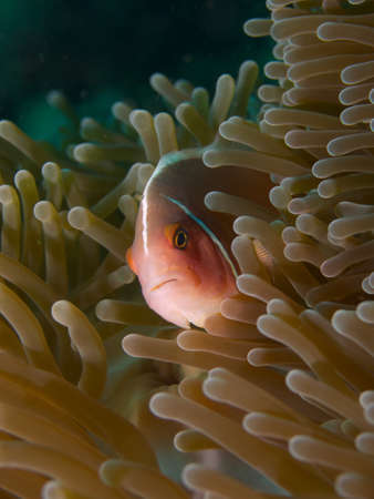 Macro portrait of a Pink Anemonefish looking out of its host Anemone photo