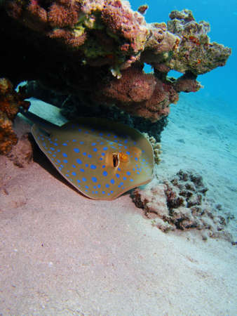taeniura: Bluespotted Ribbontail Ray under coral outcrop