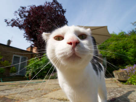moggy: Wide-angle Close-up portrait of white and tabby coloured cat