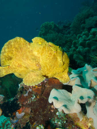 wideangle: Wide-angle portrait of a large yellow Giant Frogfish Stock Photo
