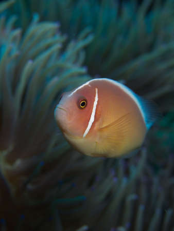 clown fish amphiprion: Macro portrait of a Pink Anemonefish in front of its host Anemone Stock Photo