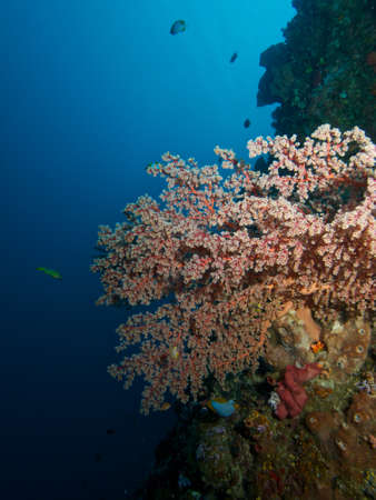 softcoral: Hugh Pink Soft-coral  on the reef wall of Bunaken Island