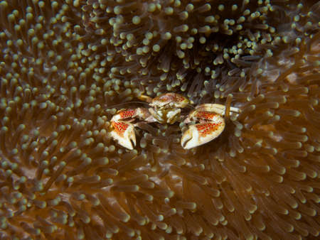 Macro portrait of a Porcelain Crab sitting in its host sea anemone photo