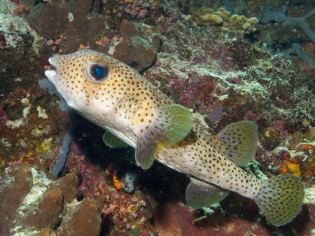 wideangle: Wide-angle close-up portrait of a very large Porcupinefish