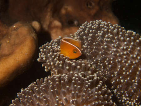 Macro portrait of a Skunk Anemonefish in its host anemone photo