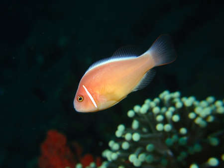 amphiprion: Portrait of a Pink Anemonefish in midwater above a Mushroom Coral