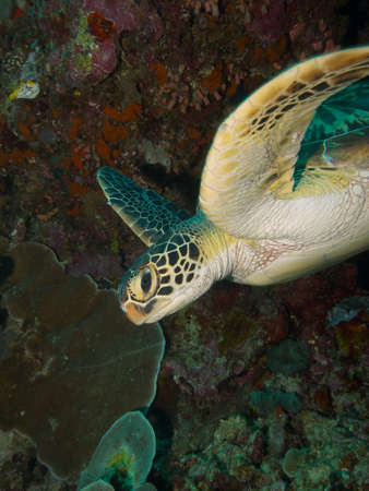 wideangle: Wide-angle portrait of a Green Turtle making a close pass of the photographer