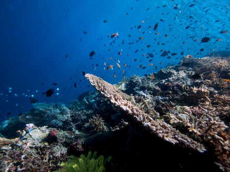 hugely: Typical wide-angle view of hugely diverse range of reef fish on Bunaken Island