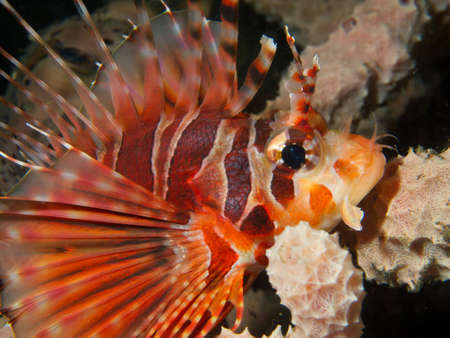 turkeyfish: Macro portrait of a stunningly beautiful Zebra Lionfish