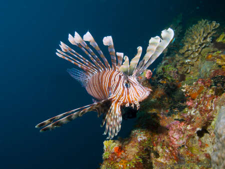 common lionfish: Nice wide-angle close-up portrait of a common lionfish Stock Photo