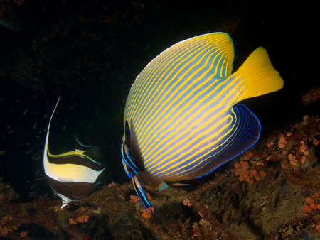 zanclus cornutus: Bluestreak Cleaner Wrasse cleaning under the operculum of a large adult Emperor angelfish