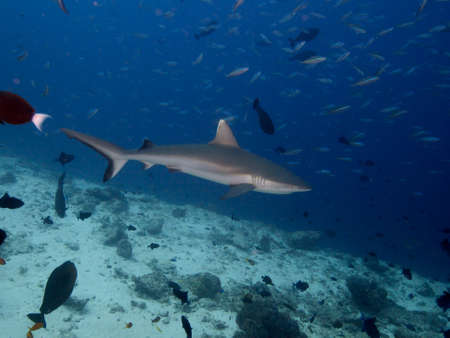 dropoff: Grey Reef Shark cruising above reef drop-off with bait fish in background Stock Photo