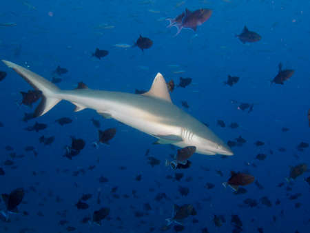 triggerfish: Grey Reef Shark surrounded by hundreds of Redtoothed triggerfish