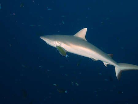 soliciting: Grey Reef Shark cruising in the blue with bait fish in background and wrasse soliciting its cleaning services Stock Photo