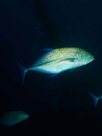 Side-on shot of one of a school of Bluefin Trevally hunting over the MV Kudhi Maa wreck in the Maldives photo