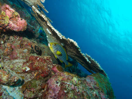 vittatus: Wide-angle shot on an Indian Ocean Oriental Sweetlips resting under a large table coral Stock Photo