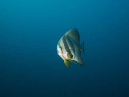 platax: Side-on shot of Longfin Spadefish isolated against a light blue background