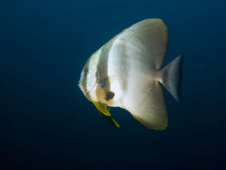 platax: Side-on shot of Longfin Spadefish isolated against a dark blue background Stock Photo