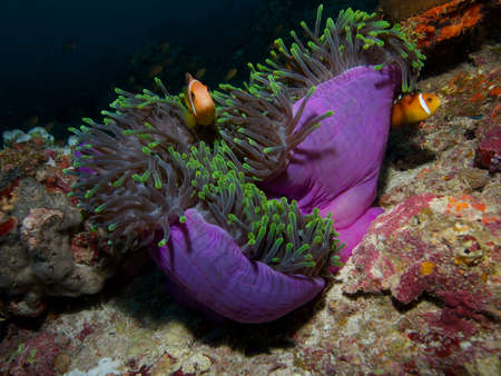 mutualism: Wide-angle close-up portrait of a pair of Maldive anemonefish in a beautiful purple and green Heteractis magnifica anemone