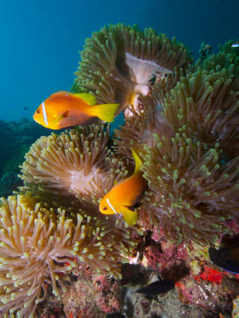mutualism: Wide-angle close-up portrait of a pair of Maldive anemonefish in a cluster of Heteractis magnifica anemones