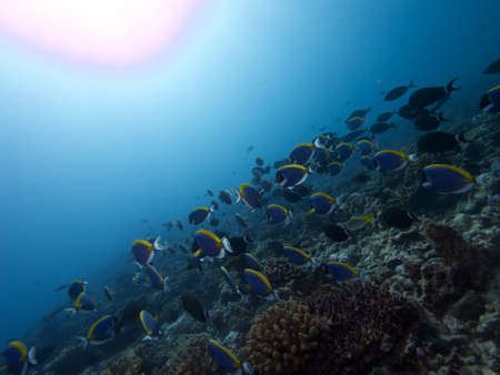 surgeonfish: Wide-angle reefscape with school of Powderblue Surgeonfish in foreground