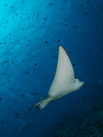 narinari: Nice shot of very friendly small Spotted Eagle Ray against background of small schooling fish