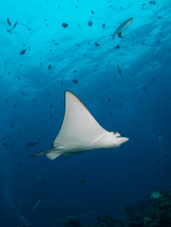 Nice shot of very friendly small Spotted Eagle Ray against background of small schooling fish photo