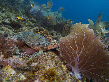 softcoral: Atlantic Green Turtle resting on a pristine reef typical of the east coast of Bonaire