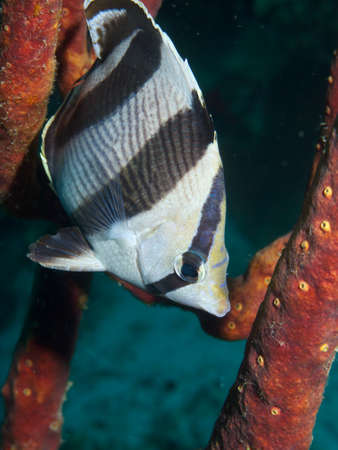 Portrait of a Banded Butterflyfish hiding in a Rope Sponge photo