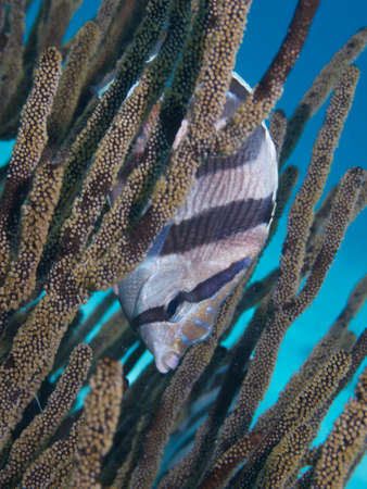 softcoral: Portrait of a Banded Butterflyfish hiding in a Soft-coral Stock Photo