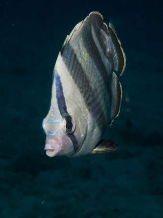 Portrait of a Banded Butterflyfish against a black background photo