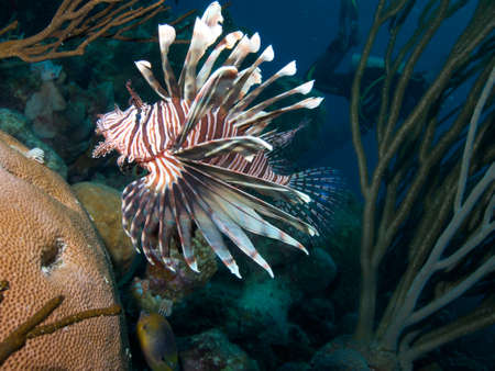 softcoral: Invasive Common Lionfish framed against a backdrop of Caribbean soft-coral species Stock Photo