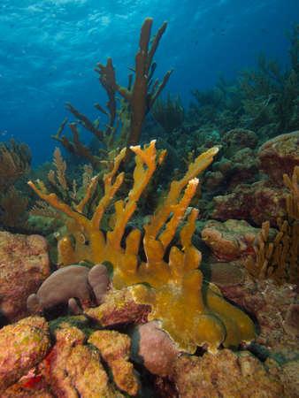 pristine coral reef: Grande stand di Elkhorn corallo su una scogliera incontaminata tipica della costa est di Bonaire